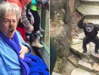 Animals Fight Back, Chimpanzee Locked In Zoo Flings Poop At The Visitors And Hits A Grandma Right In The Nose…MUST WATCH VIDEO!